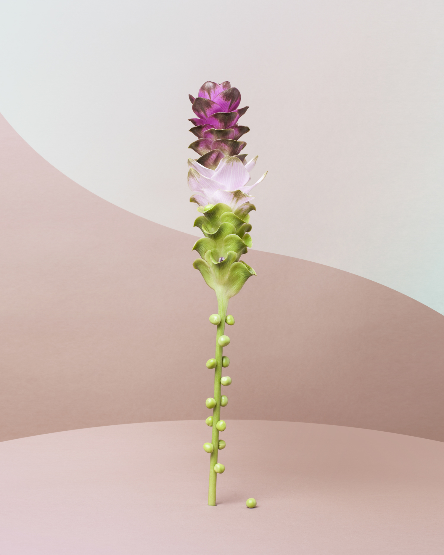 Tall Flower with peas